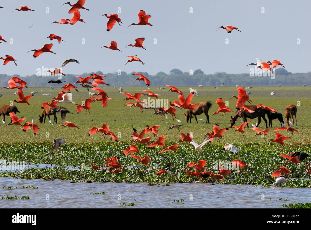 Swarm of Scarlet Ibis flying, Eudocimus ruber, LOS LLANOS, Venezuela, South America - Stock Image