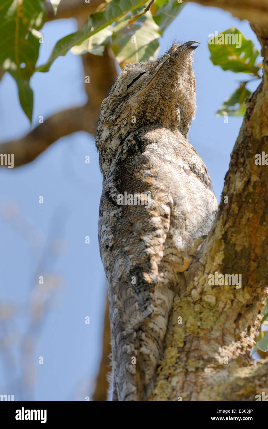 giant or great Potoo ,Nyctibius grandis, sitting in a tree, LLANOS, Venezuela, South America - Stock Image