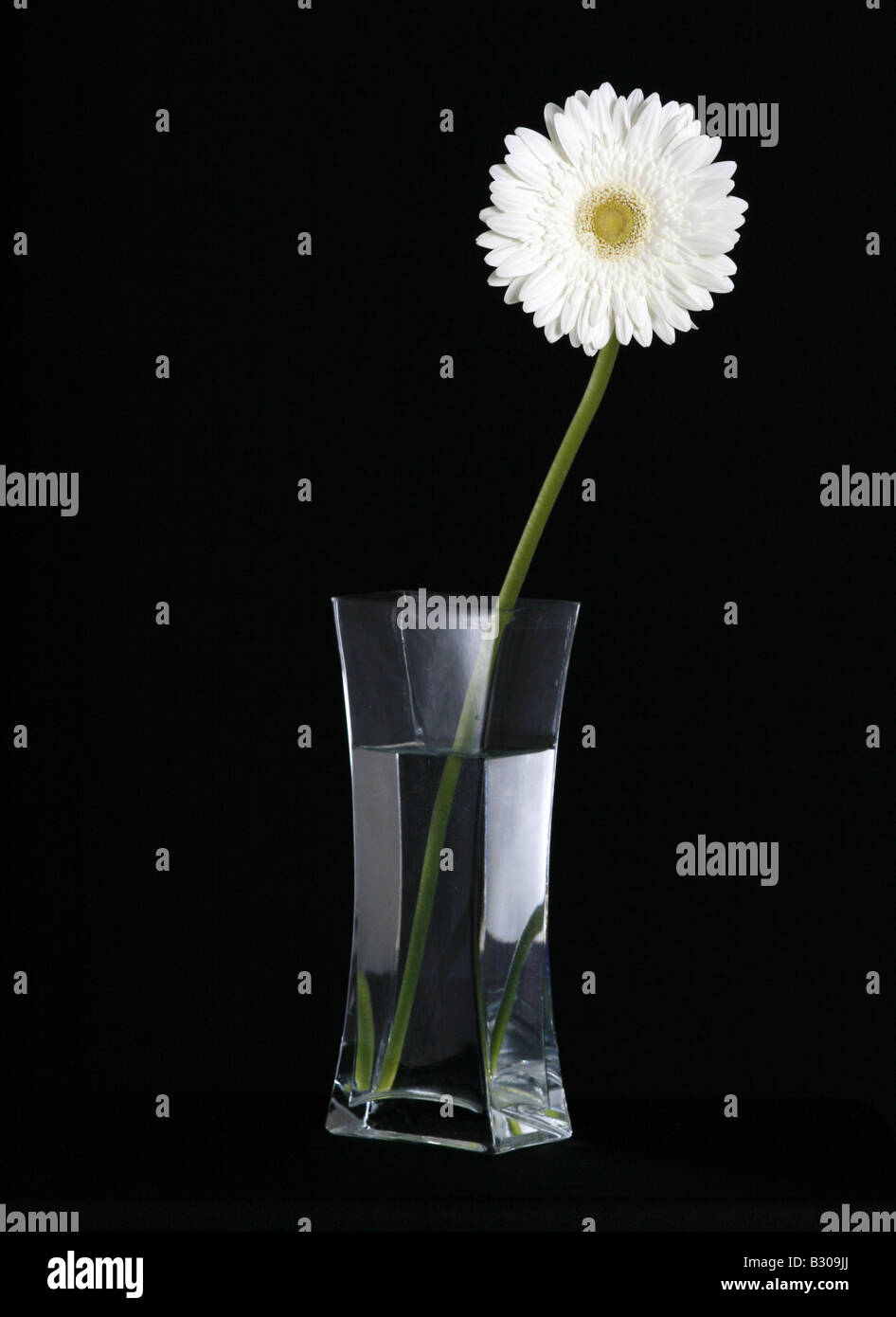 White gerbera flower in a glass vase against a black background white gerbera flower in a glass vase against a black background mightylinksfo