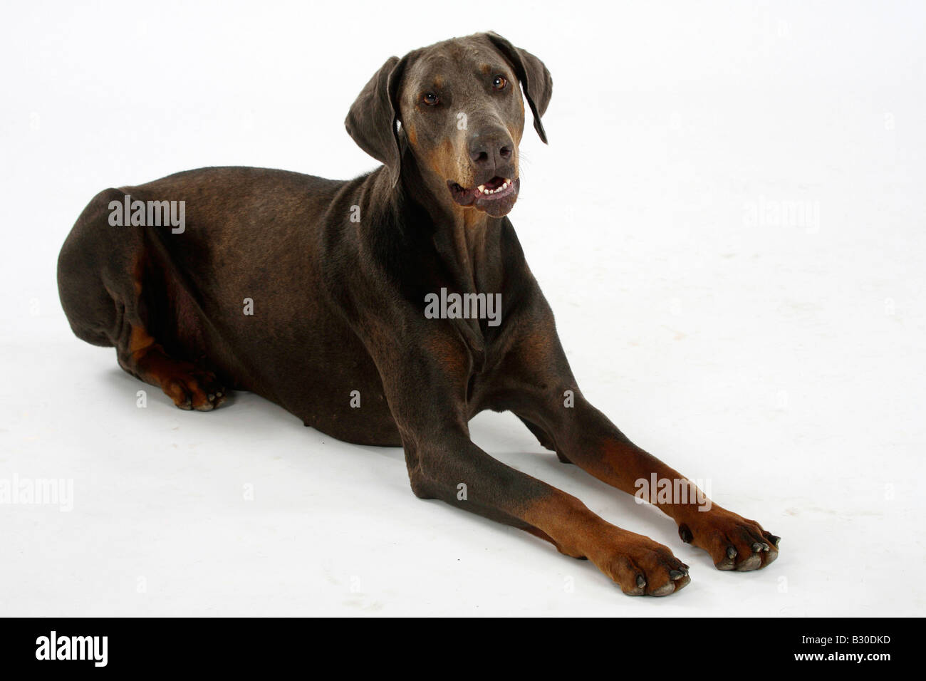 Dobermann Pinscher blue - Stock Image