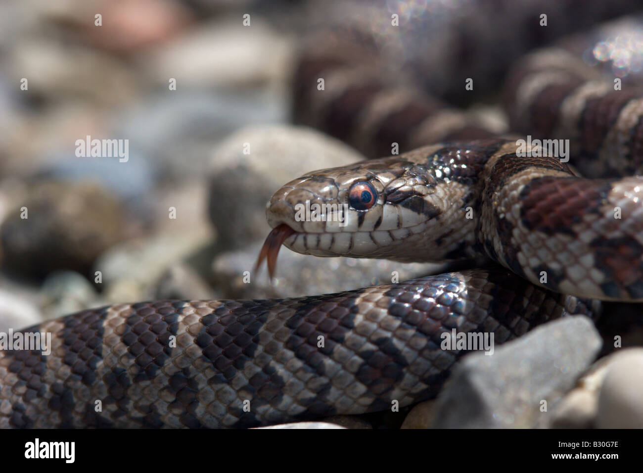 milk snake reptile cold blooded serpent - Stock Image