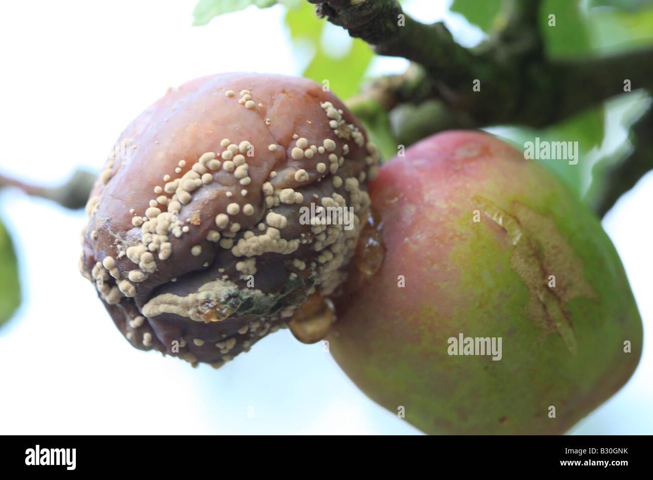 BROWN ROT Sclerotina fructigena ON PLUM - Stock Image