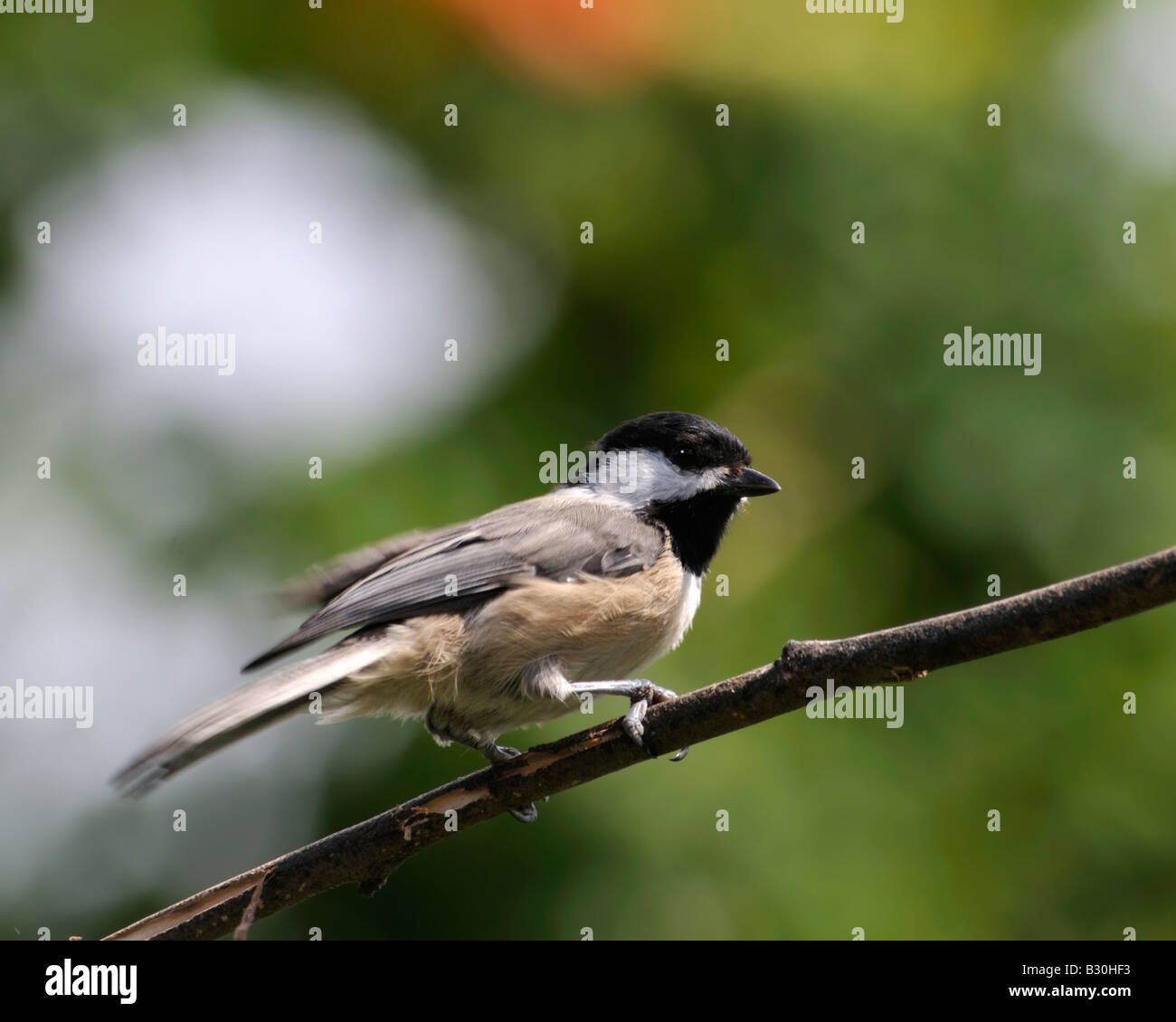 A Black capped Chickadee, Poecile atricapilla, perches on a small branch. Oklahoma, USA. - Stock Image