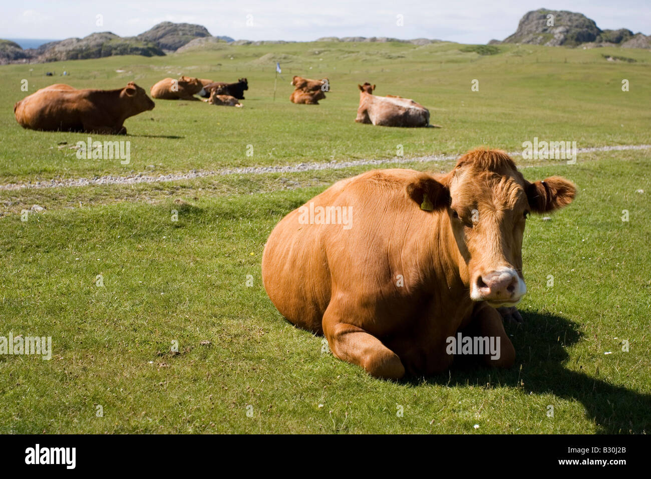 Moody Cows - Stock Image