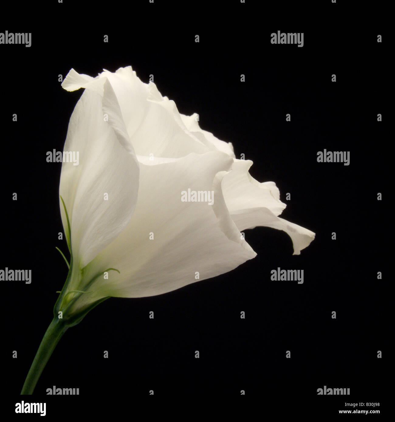 Single White Lisianthus on Black Background - Stock Image