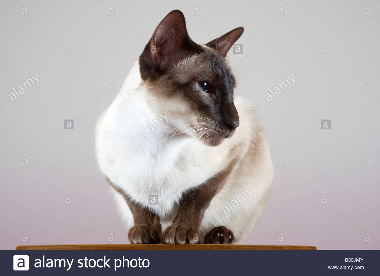 siamese cat sat on a pedestal against a slight grad background - Stock Image