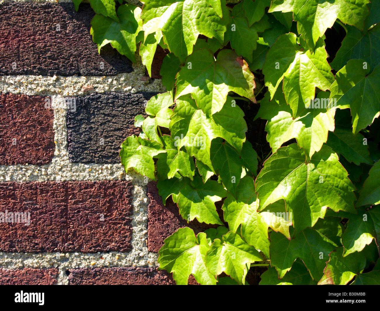 Ivy on brick wall close up - Stock Image