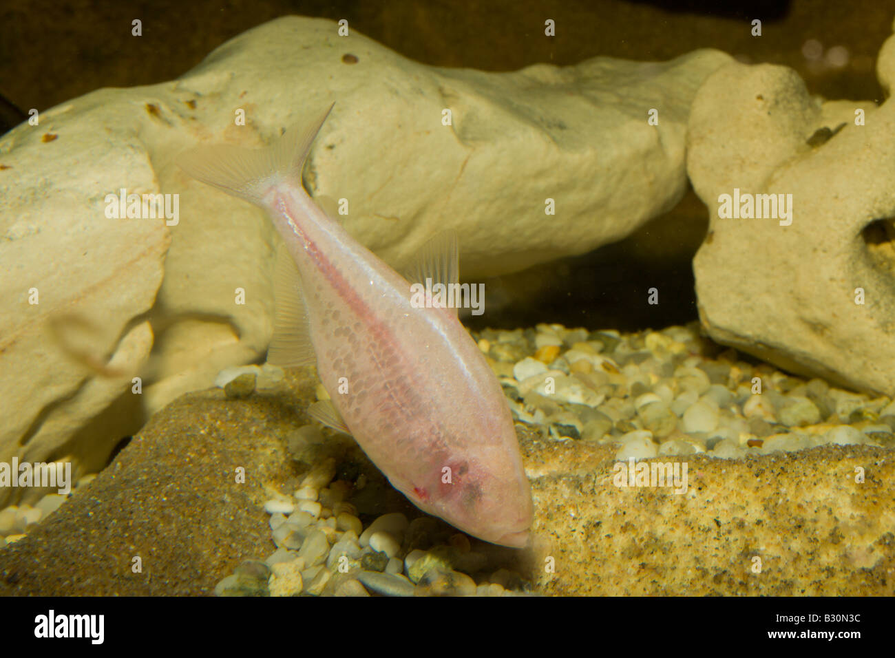 Blind cavefish Anoptichthys jordani Astyanax fasciatus mexicanus Mexico Underwater cave - Stock Image