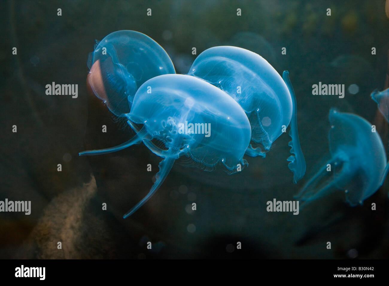 Moon Jellyfish Aurelia aurita Germany North Sea - Stock Image