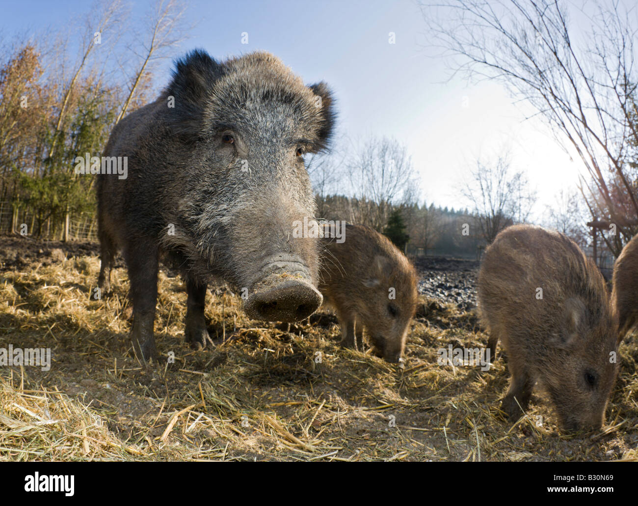 Wild boar Sus scrofa Germany Bavaria - Stock Image