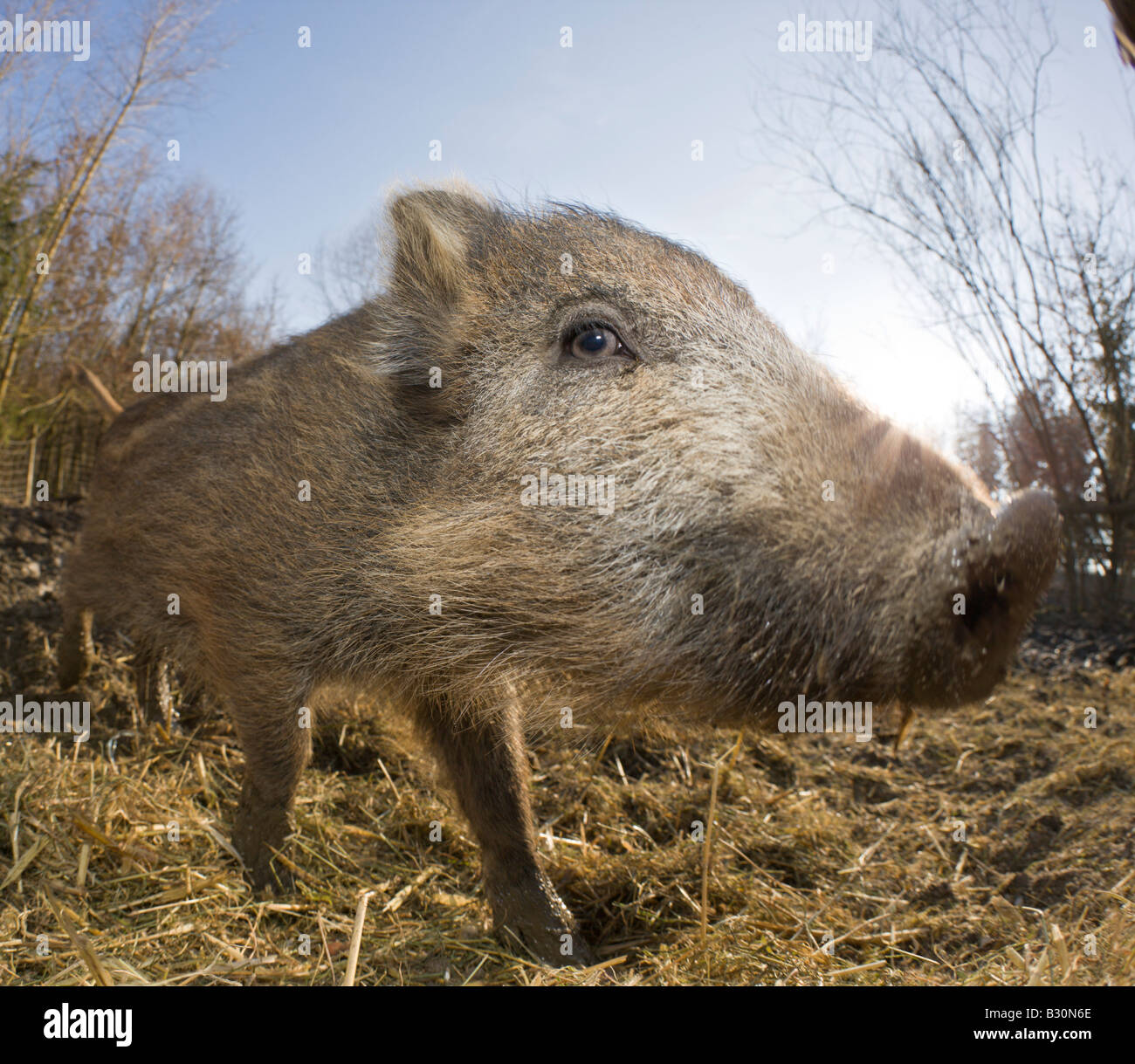 Wild boar Sus scrofa Germany Bavaria - Stock Image