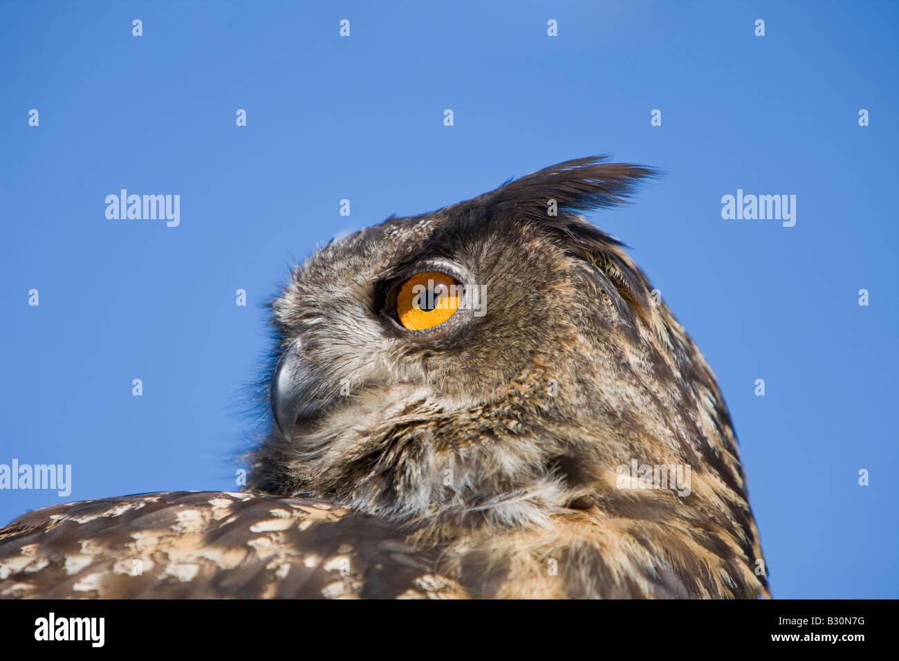 Eurasian Eagle Owl Bubo bubo Germany Bavaria - Stock Image