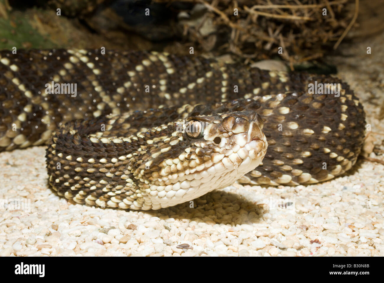 Rattle Snake Crotalus durissus - Stock Image