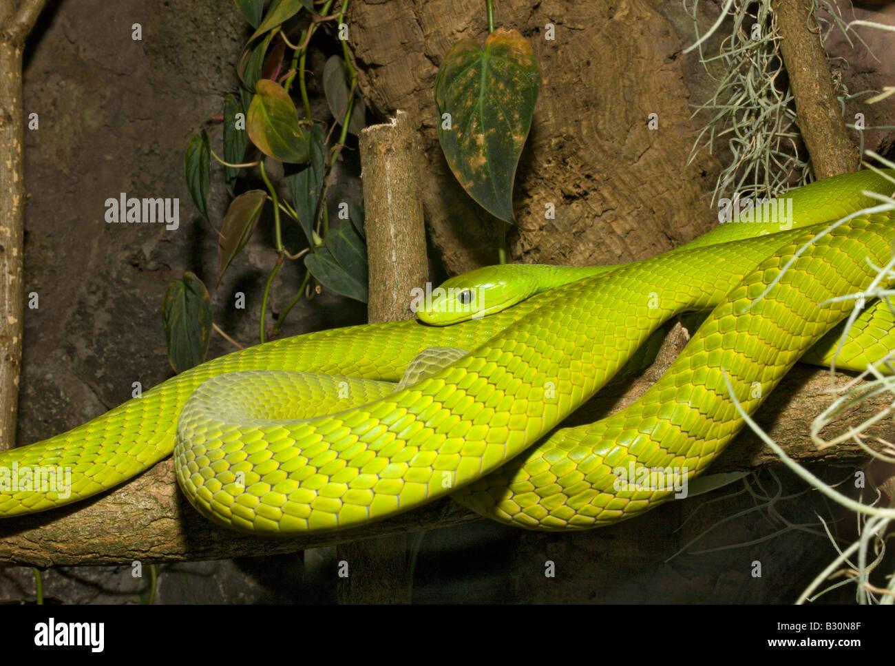 Green Mamba Dendroaspis angusticeps - Stock Image