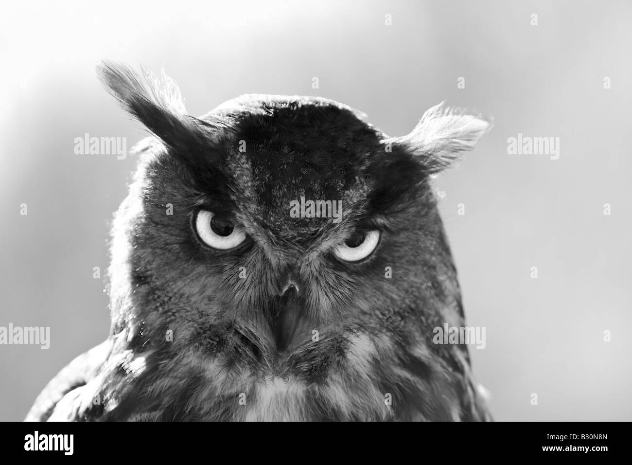 Eurasian Eagle Owl Bubo bubo - Stock Image