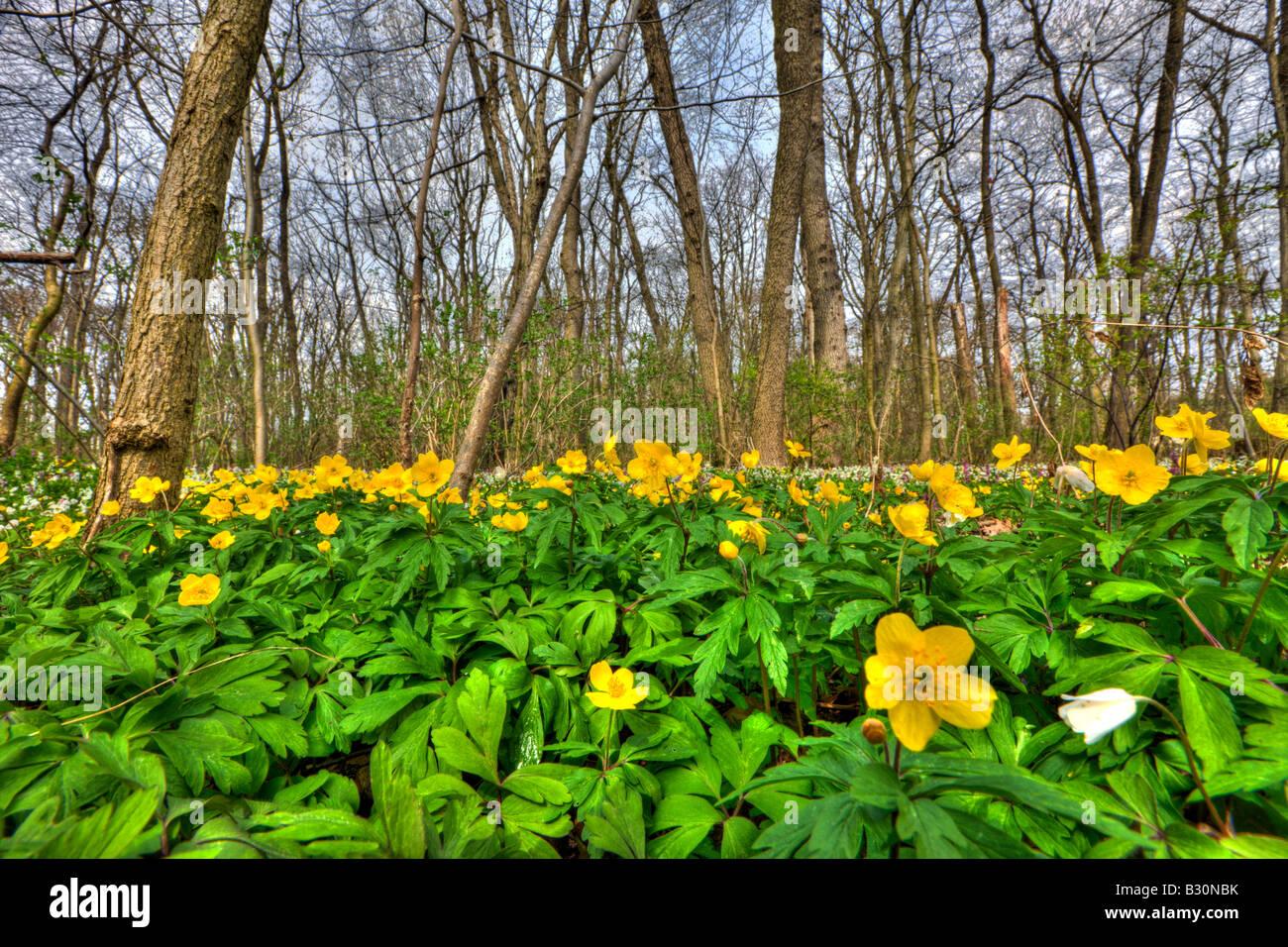 Yellow Anemones Anemone ranunculoides Germany Munich Bavaria - Stock Image
