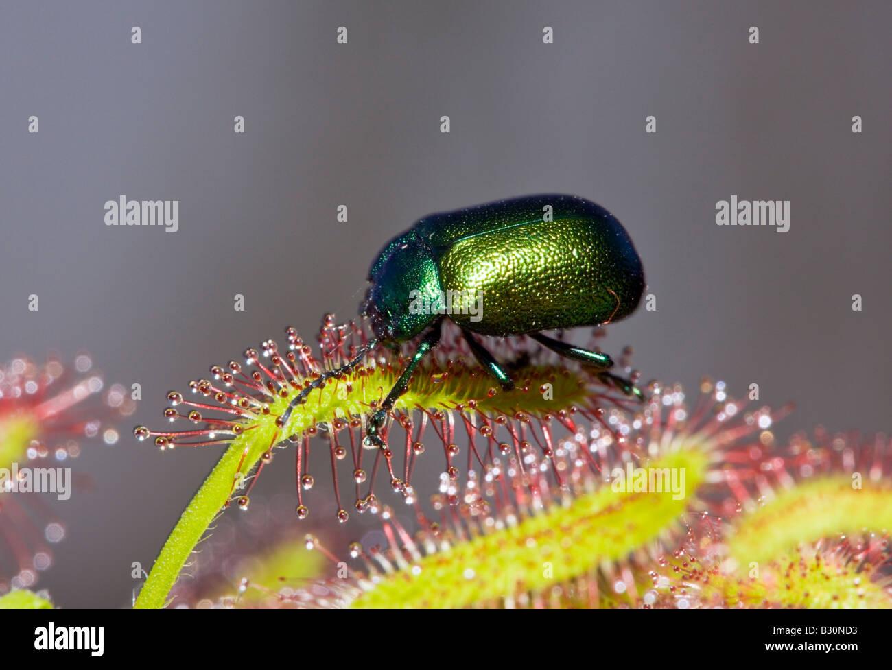 Leaf Beetle on Sundew Chrysomela Drosera Germany Munich Bavaria - Stock Image