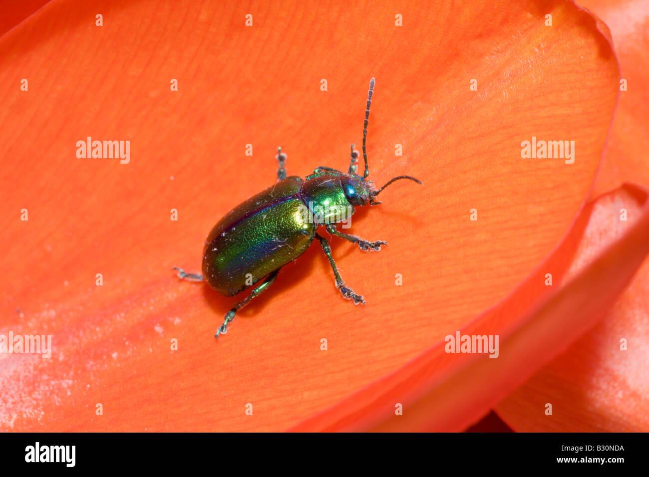 Leaf Beetle on red Tulip Chrysomela Germany Munich Bavaria - Stock Image