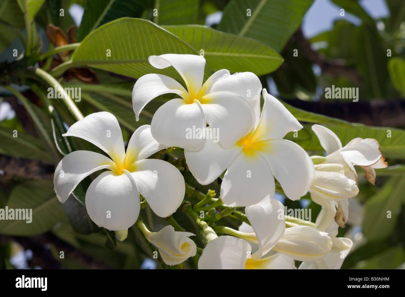 Plumeria Flowers Plumeria alba Marshall Islands Bikini Atoll Micronesia Pacific Ocean - Stock Image