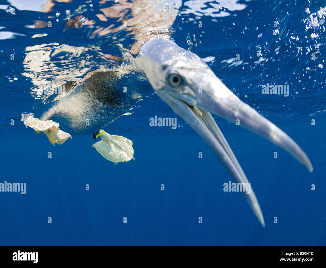 Young Brown Booby Sula leucogaster Marshall Islands Bikini Atoll Micronesia Pacific Ocean - Stock Image