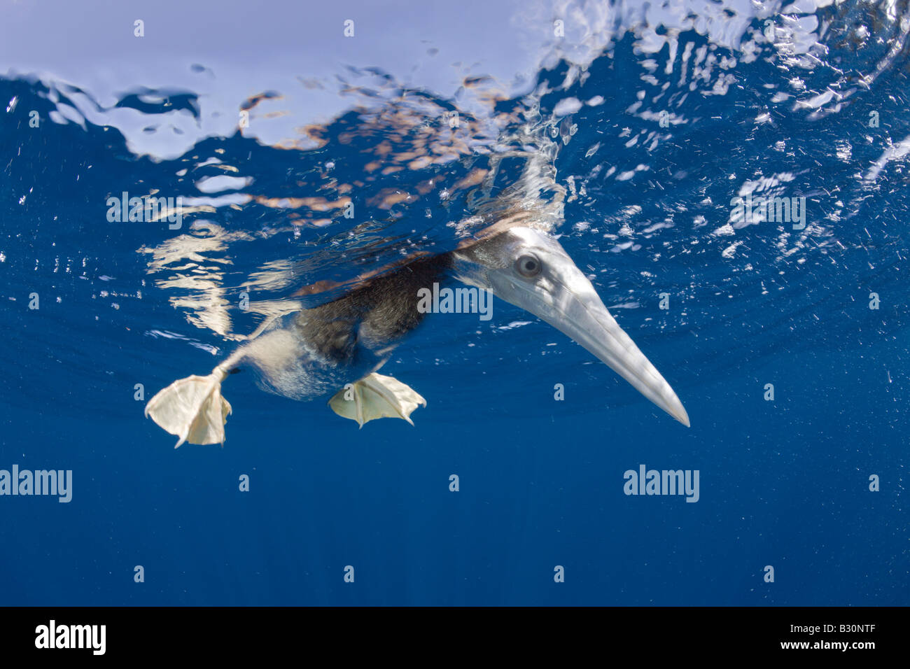 Young Brown Booby Sula leucogaster Marshall Islands Bikini Atoll Micronesia Pacific Ocean - Stock Image