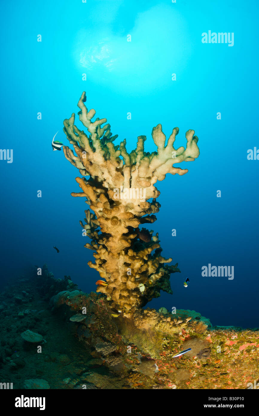 Big Fire Coral at bottom of Wreck HIJMS Nagato Battleship Marshall Islands Bikini Atoll Micronesia Pacific Ocean - Stock Image