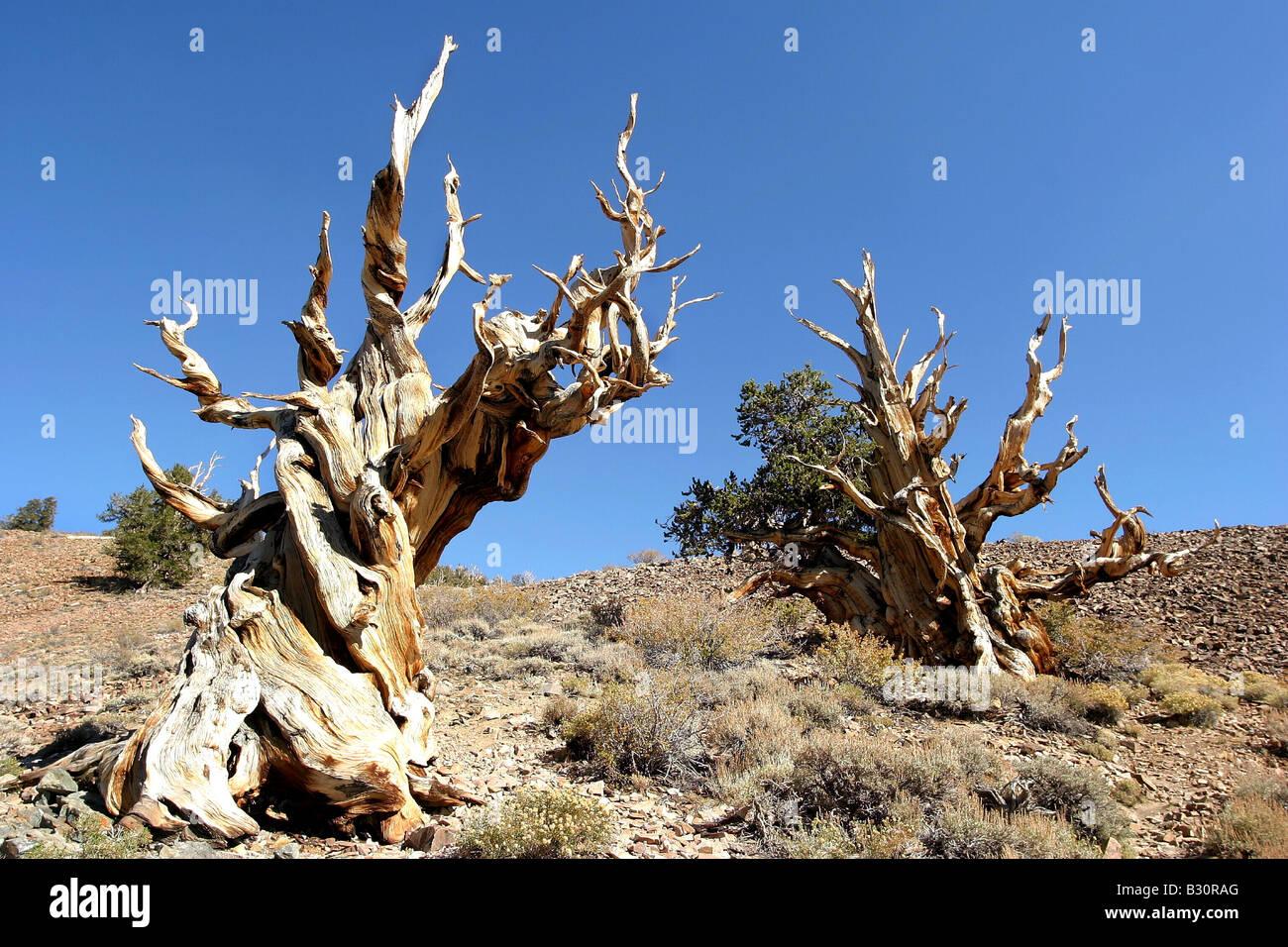 Pinus aristata, bristlecone pine Stock Photo
