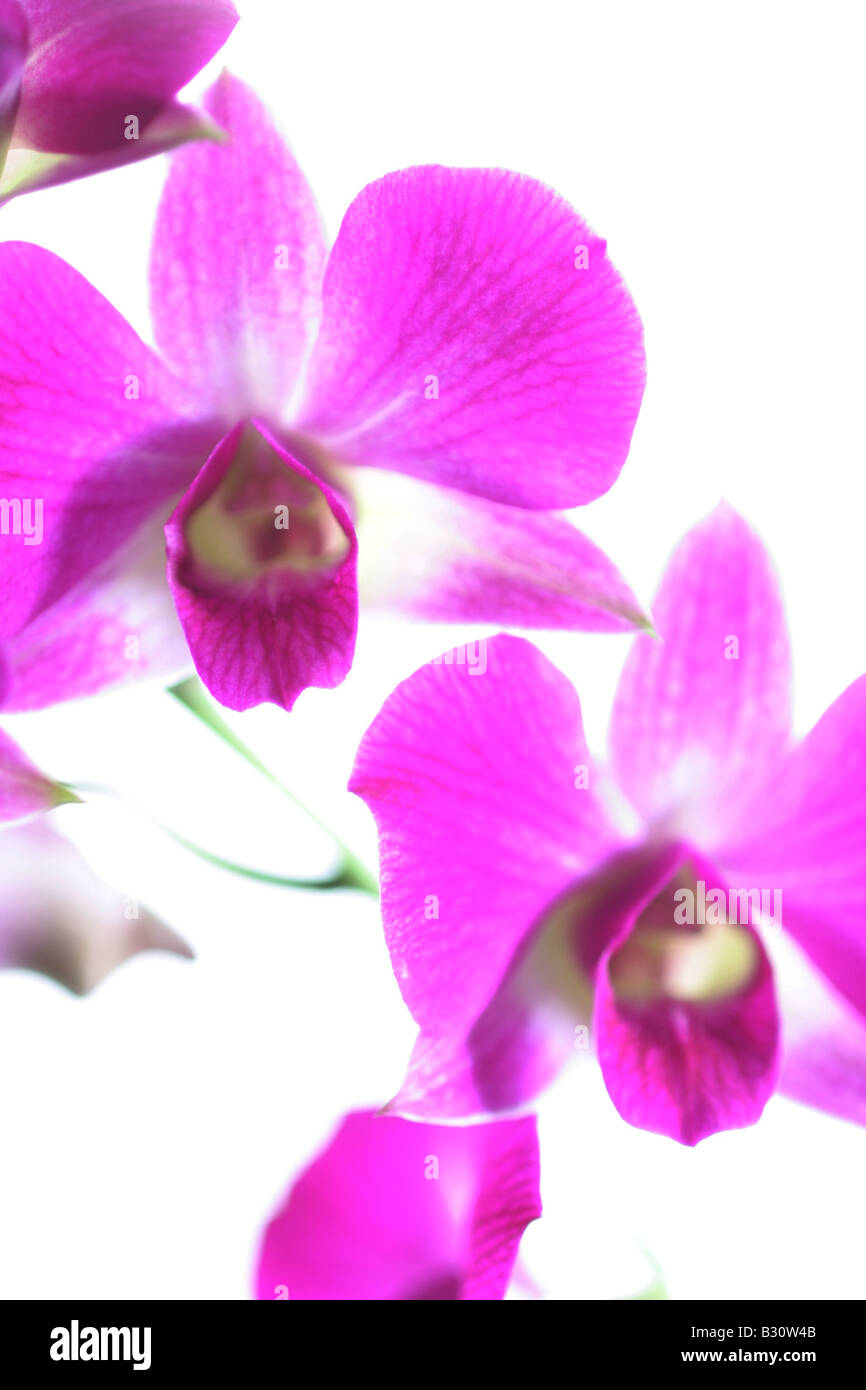 Dendrobium, antelope orchid - Stock Image