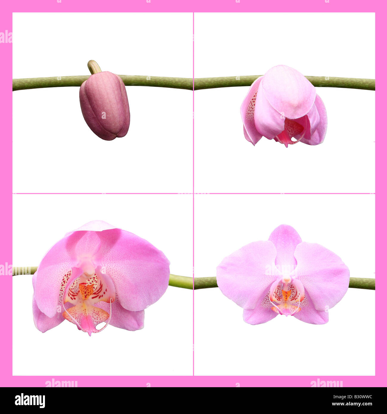 moth orchid - Stock Image
