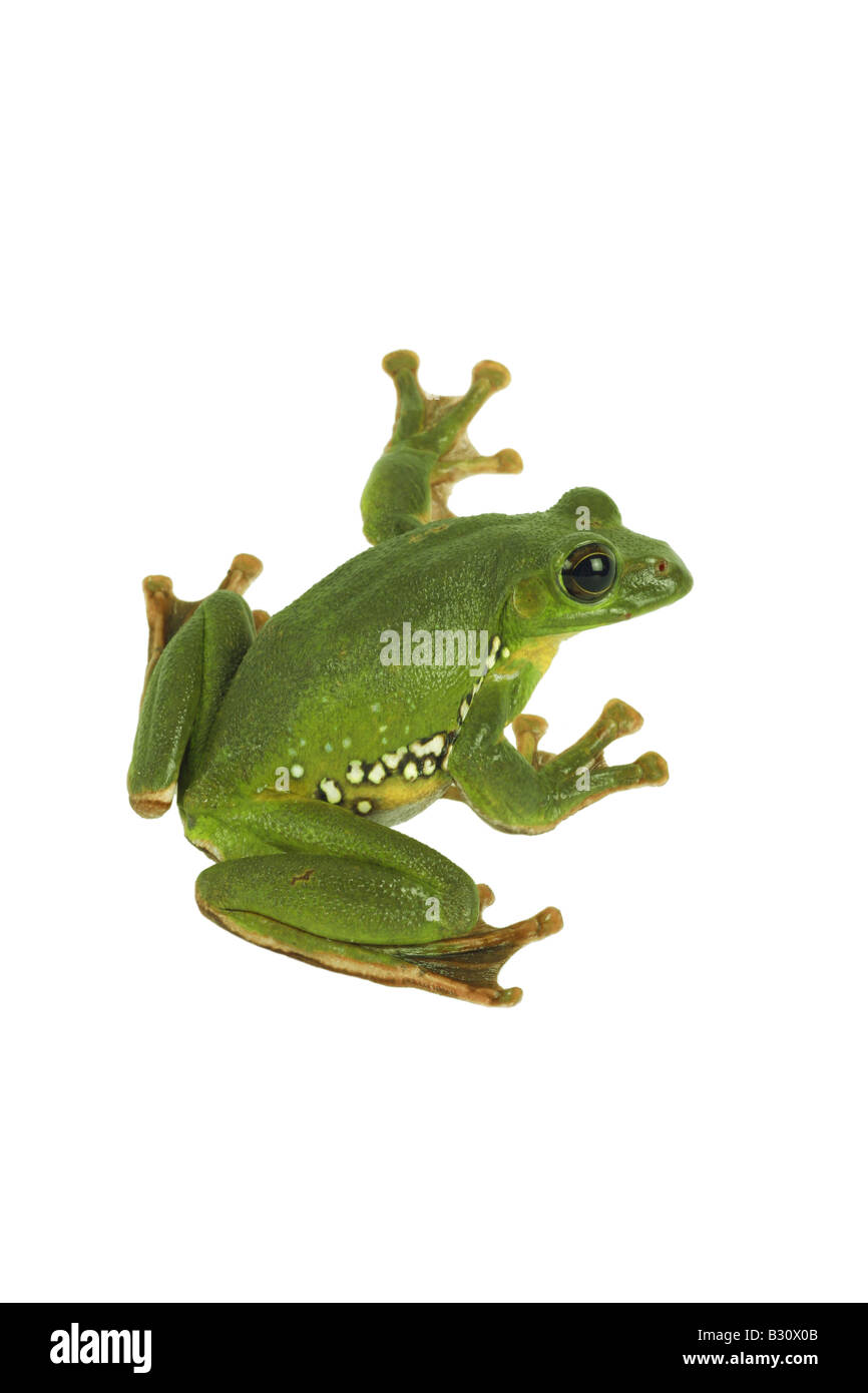 Rhacophorus dennysi, Blanford's whipping frog, asian gliding tree frog, asian gliding treefrog Stock Photo