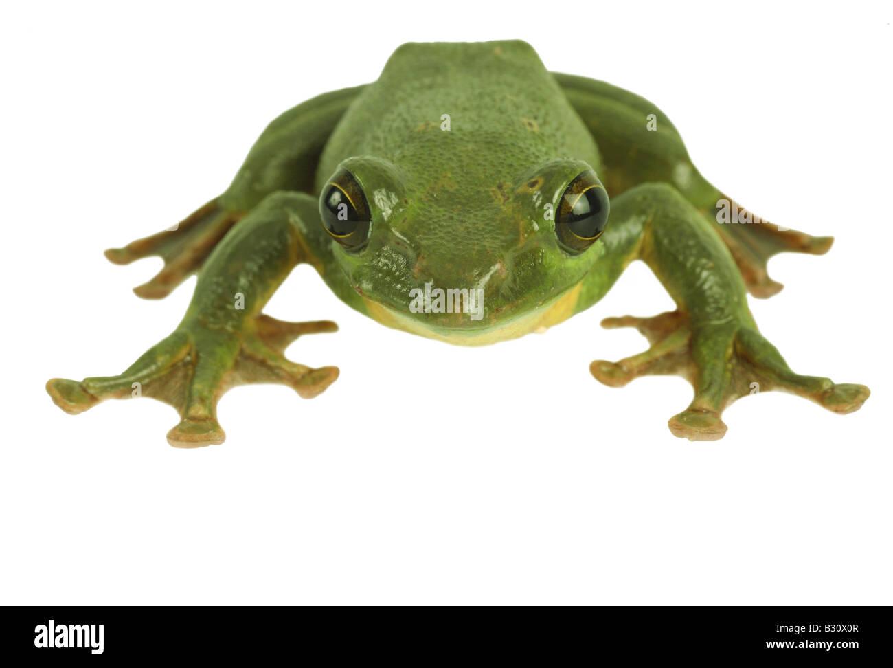 Rhacophorus dennysi, Blanford's whipping frog, asian gliding tree frog, asian gliding treefrog Stock Photo