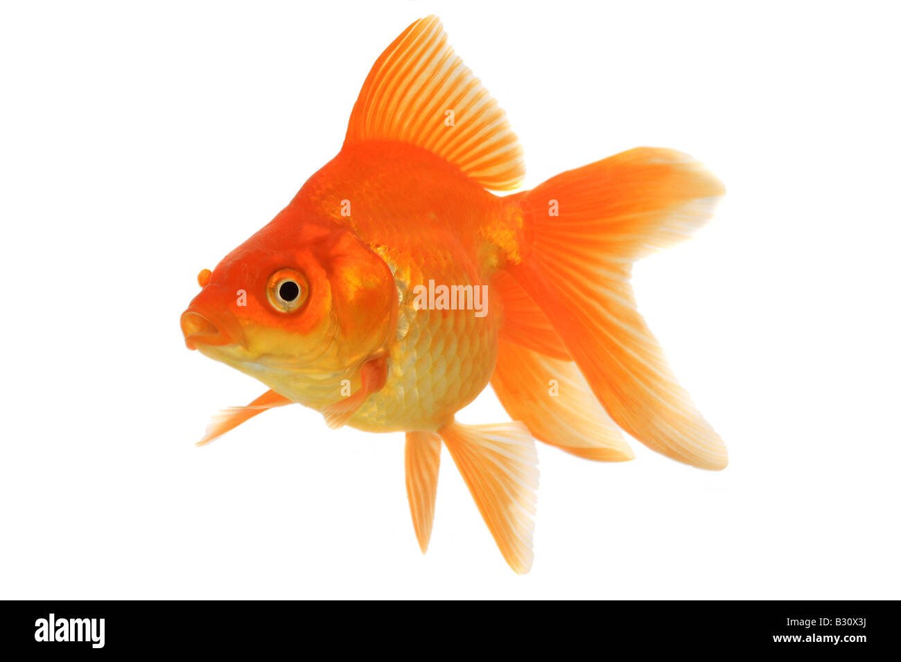 Carassius auratus auratus, goldfish, common carp, fantail Stock Photo