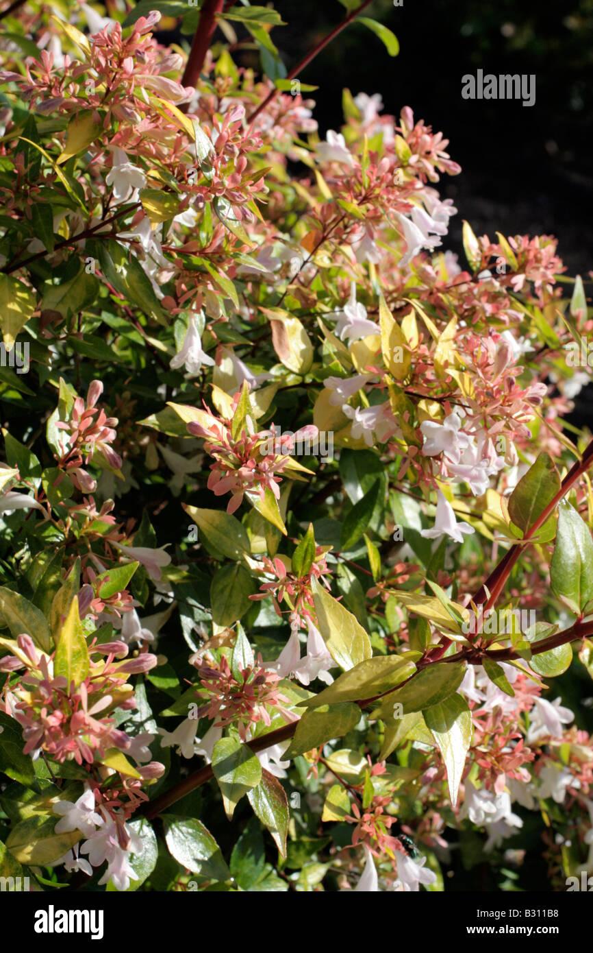 Abelia X Grandiflora Stock Photos Abelia X Grandiflora Stock