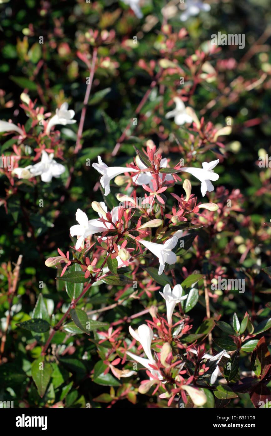 Hardy Garden Shrub Cream White Bells Midsummer Abelia Grandiflora