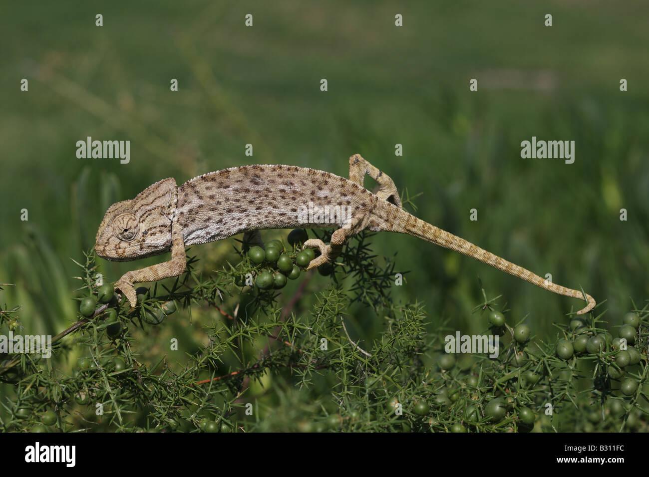 Chameleon Chamaeleo chamaeleon - Stock Image