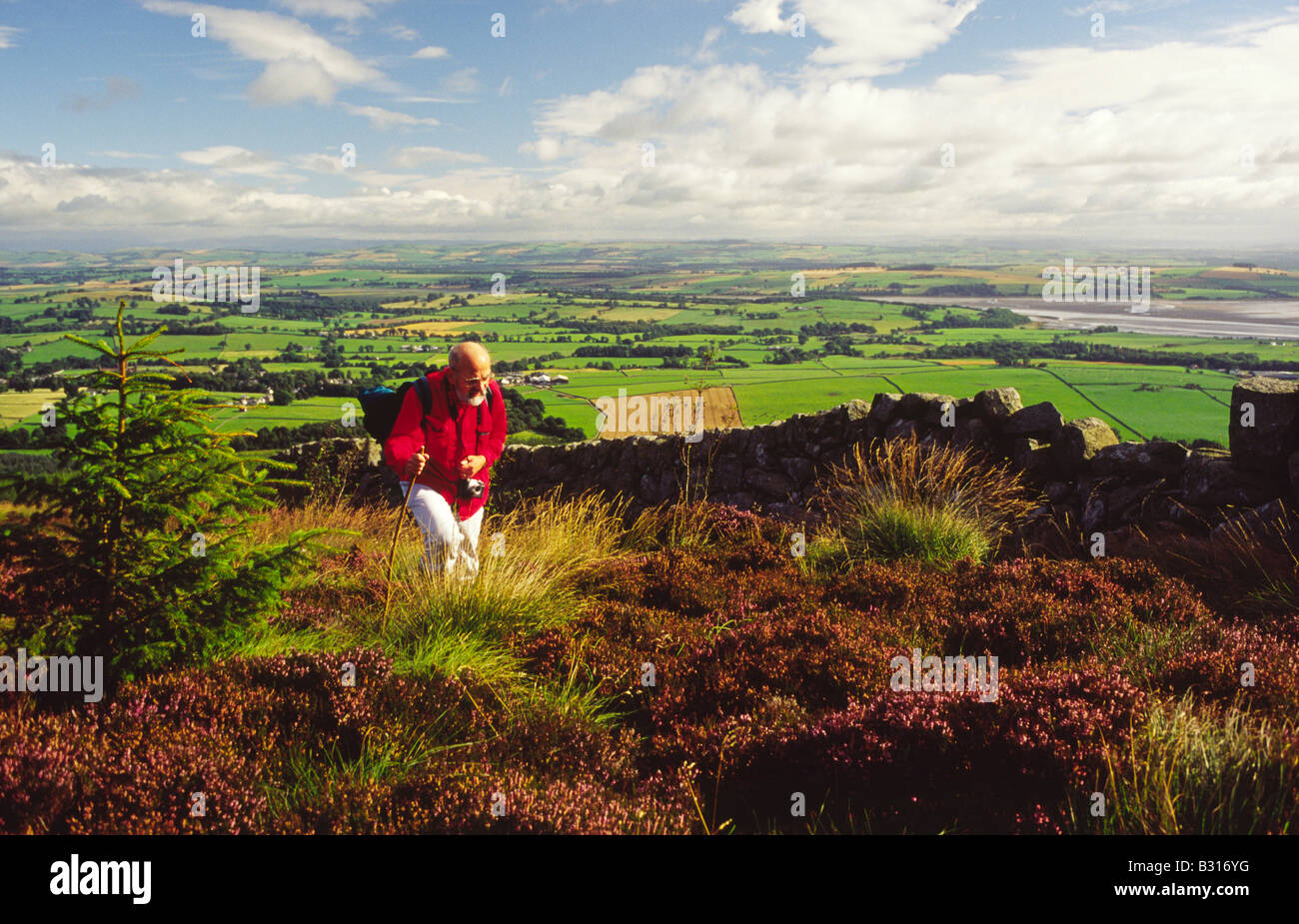 Hill walker walking through heather to the top of Criffel with Dumfrieshire landscape behind Scotland UK - Stock Image
