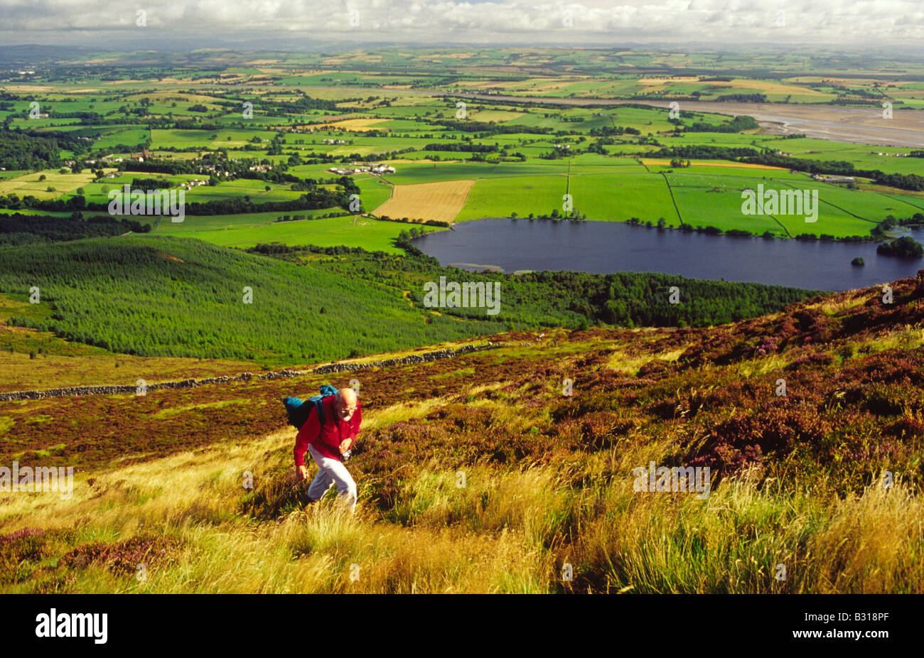 Autumn hill walker walking through heather to the top of Criffel with Loch Kinder in Dumfrieshire farming landscape - Stock Image