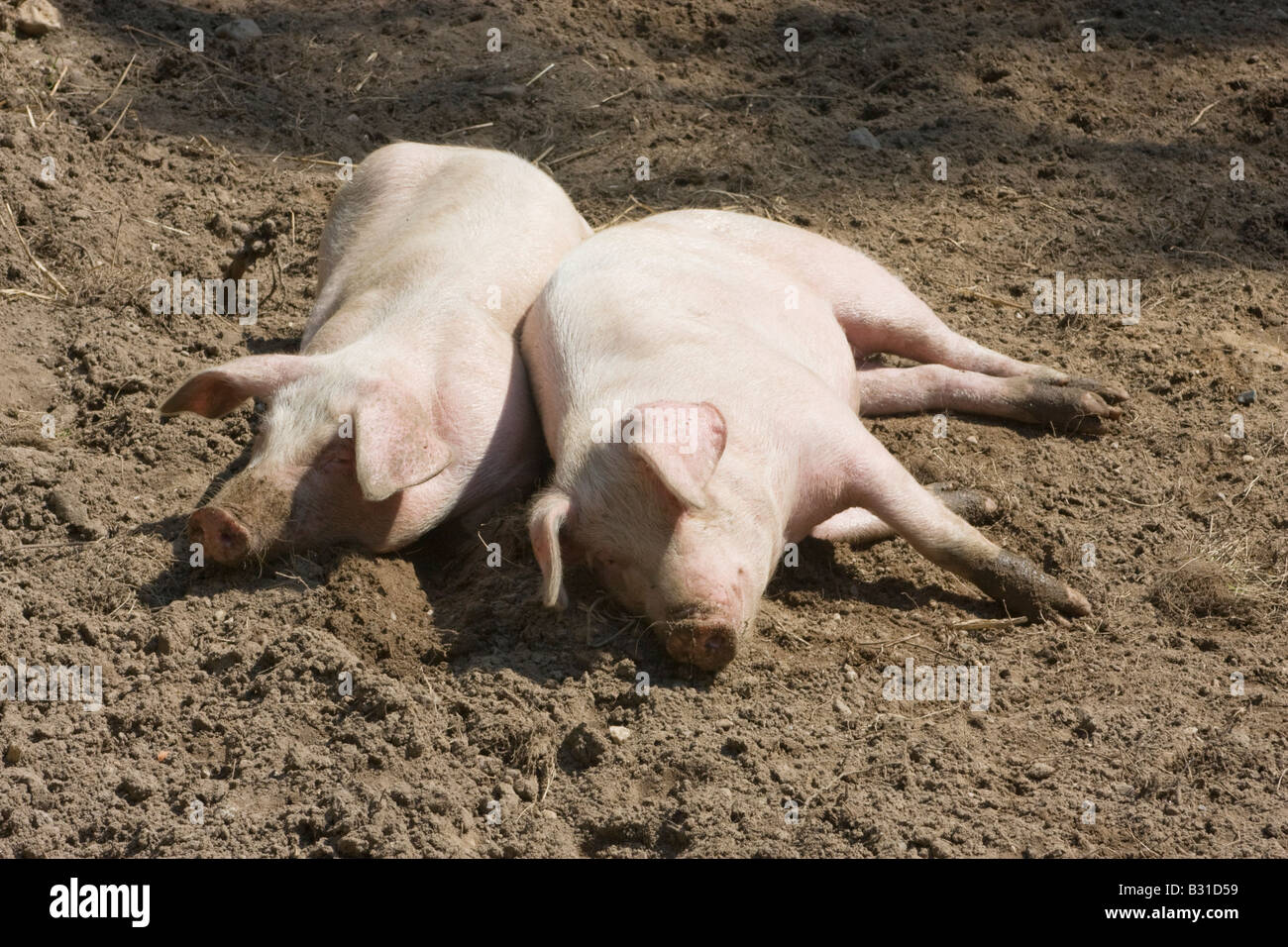 Freerange pigs sleeping in the mud A real hog s heaven July 2008 - Stock Image