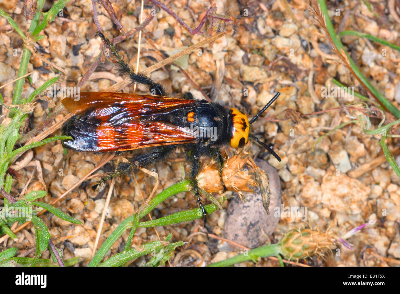 Mammoth Wasp, Megascolia maculata. Female on ground. Top view - Stock Image