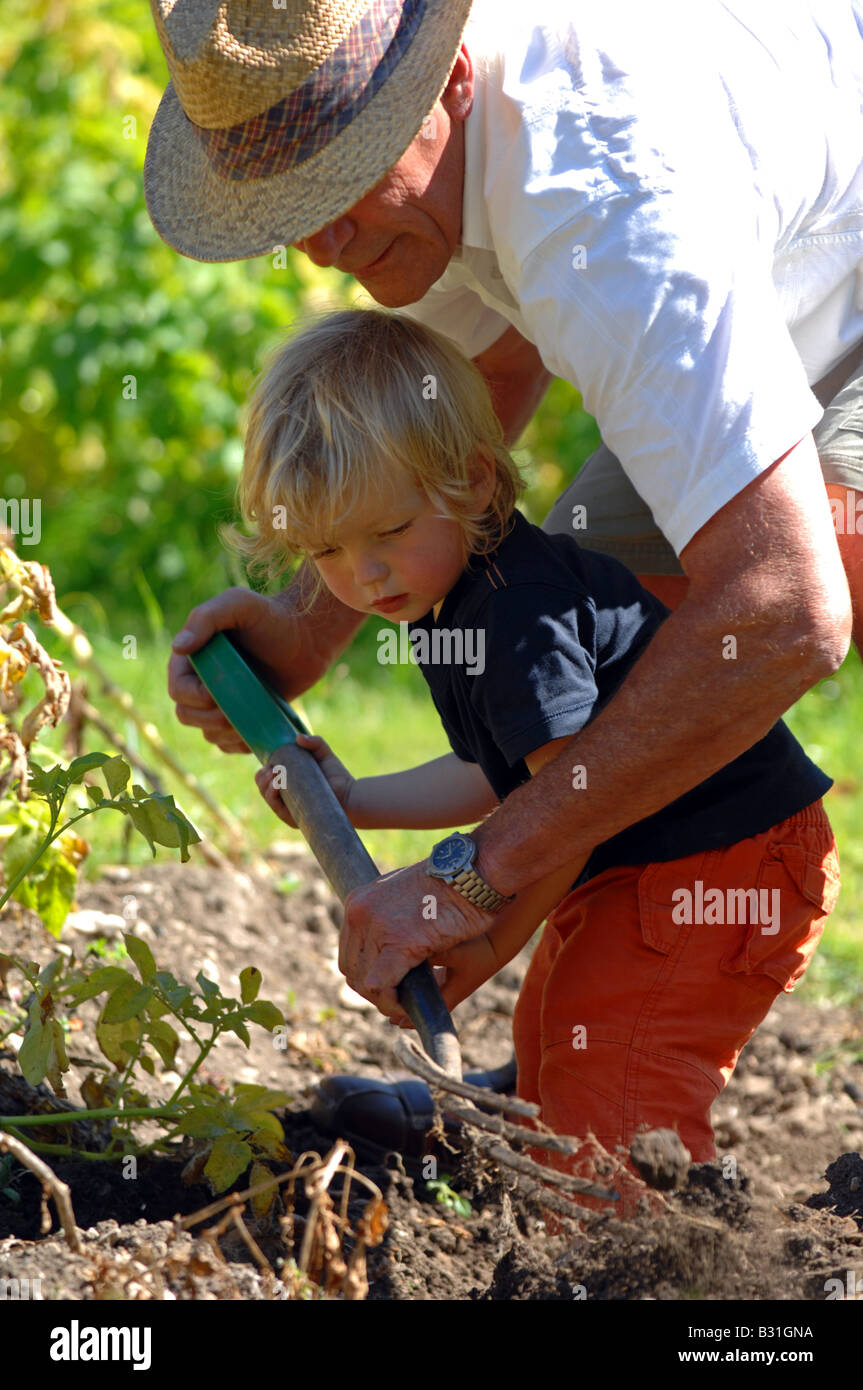Child helping to dig up potatoes in a garden - Stock Image