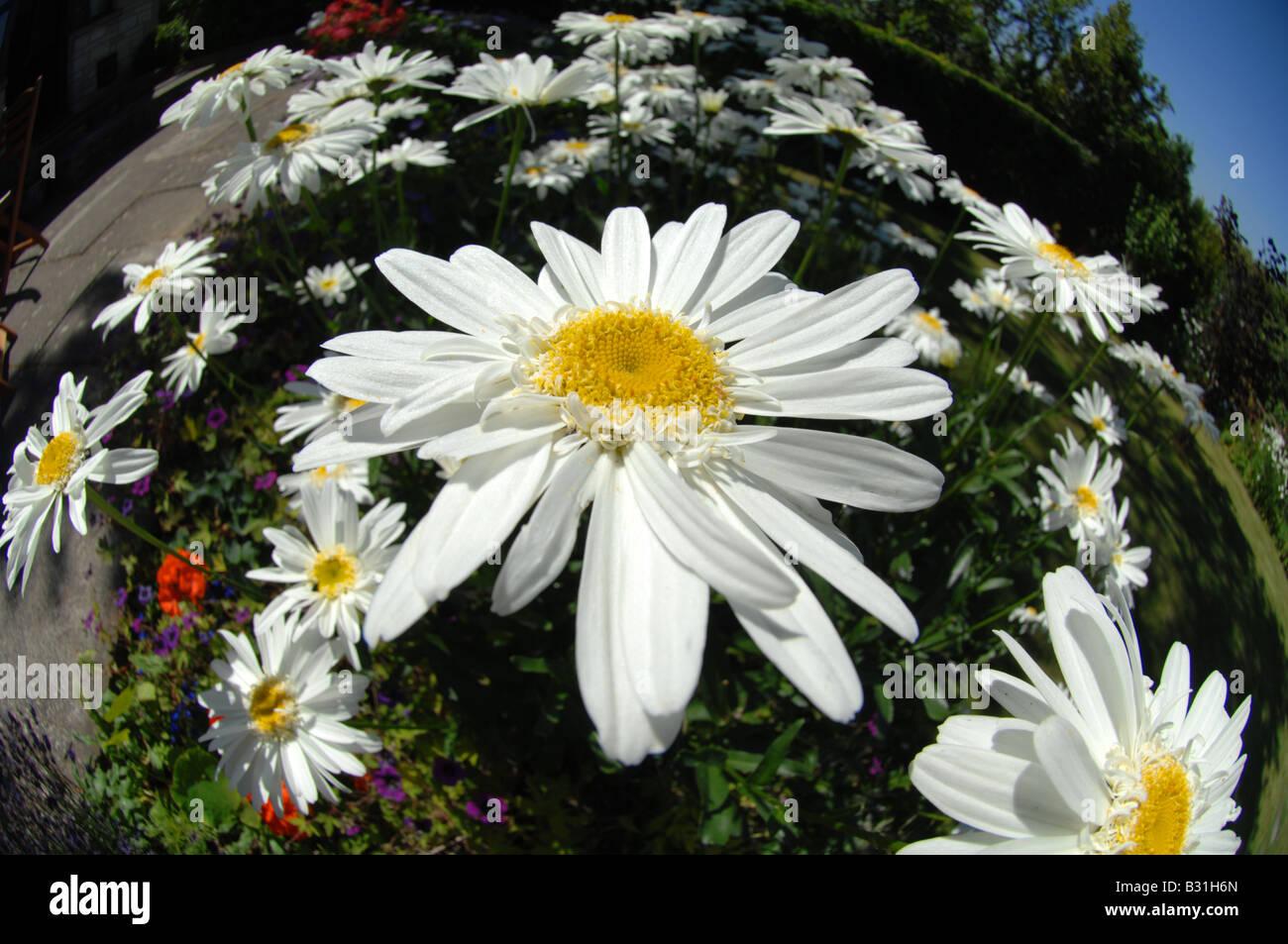 Beautiful Flowers 2019 Giant Daisy Flower Beautiful Flowers