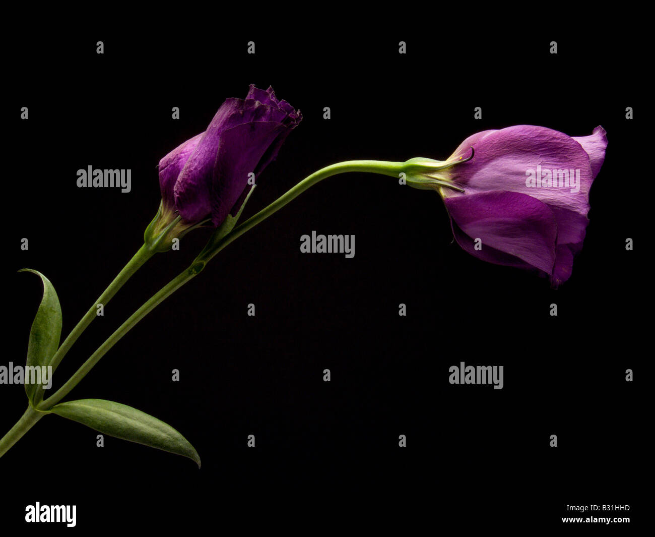 Two Purple Lisianthus on Black Background - Stock Image