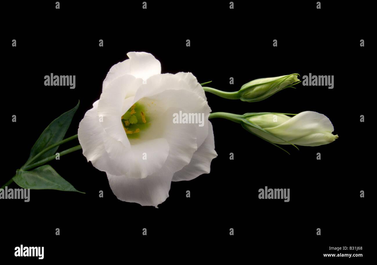 White Lisianthus on Black Background - Stock Image