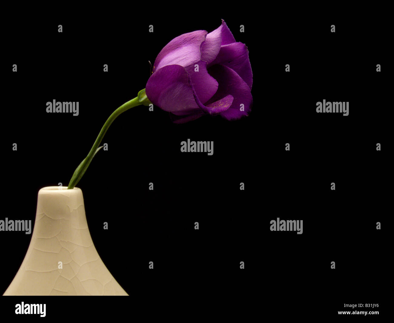 Single Purple Lisianthus on Black Background - Stock Image