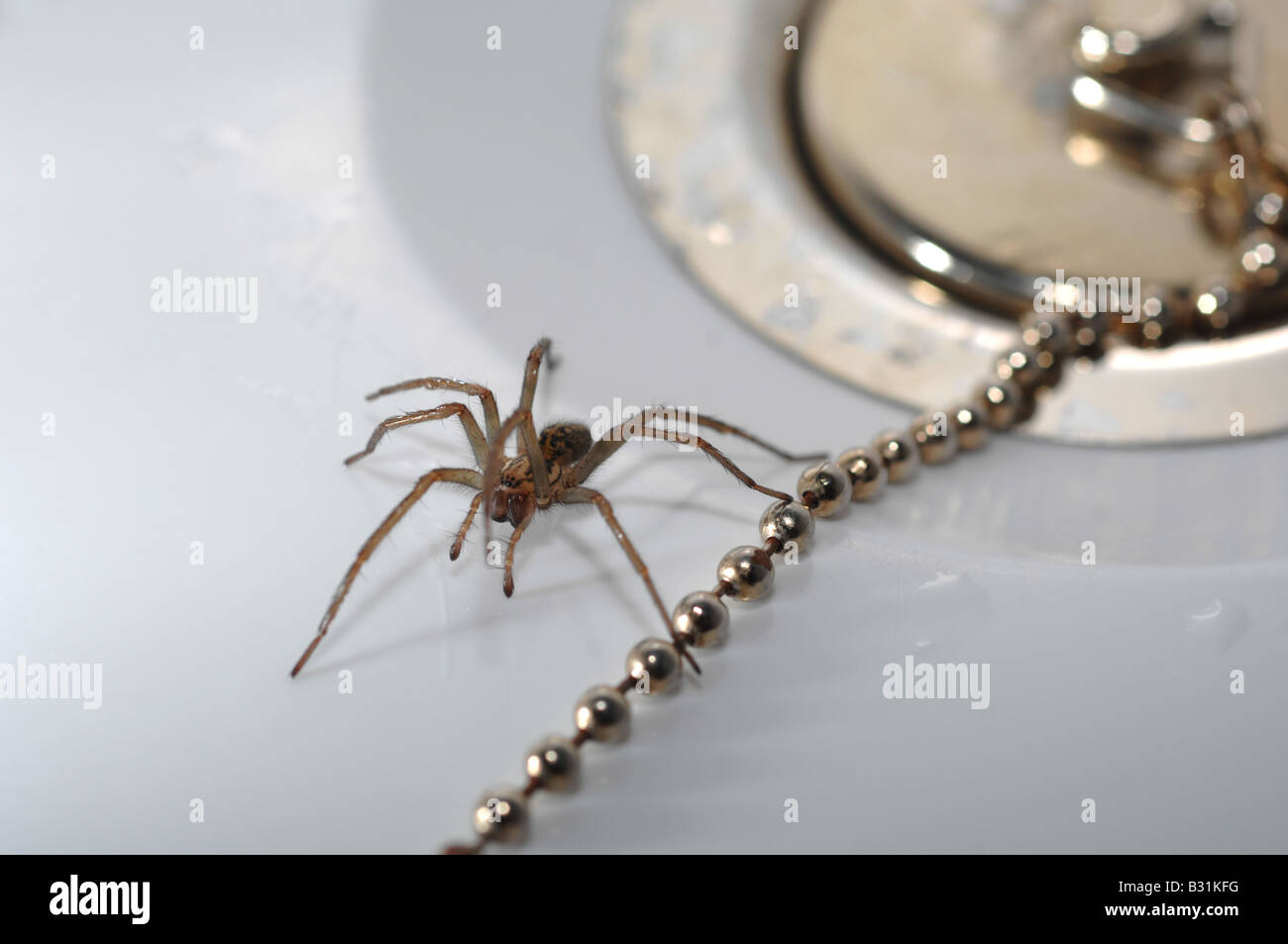 Spider in the bath, 'house spider' by plug in bath - Stock Image