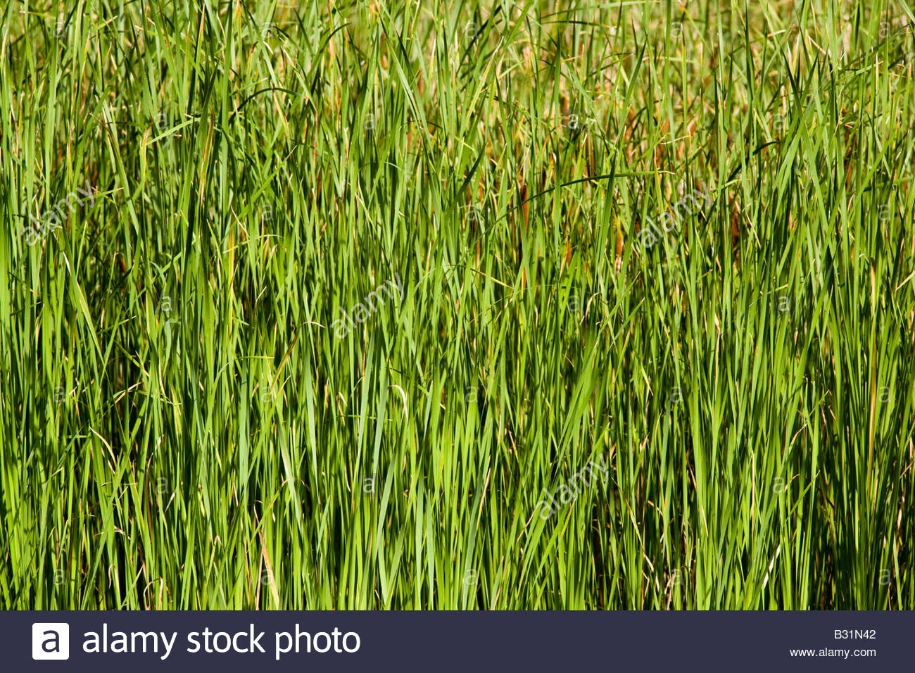 Reeds on edge of pond in Morningside Park in Toronto Ontario Canada - Stock Image
