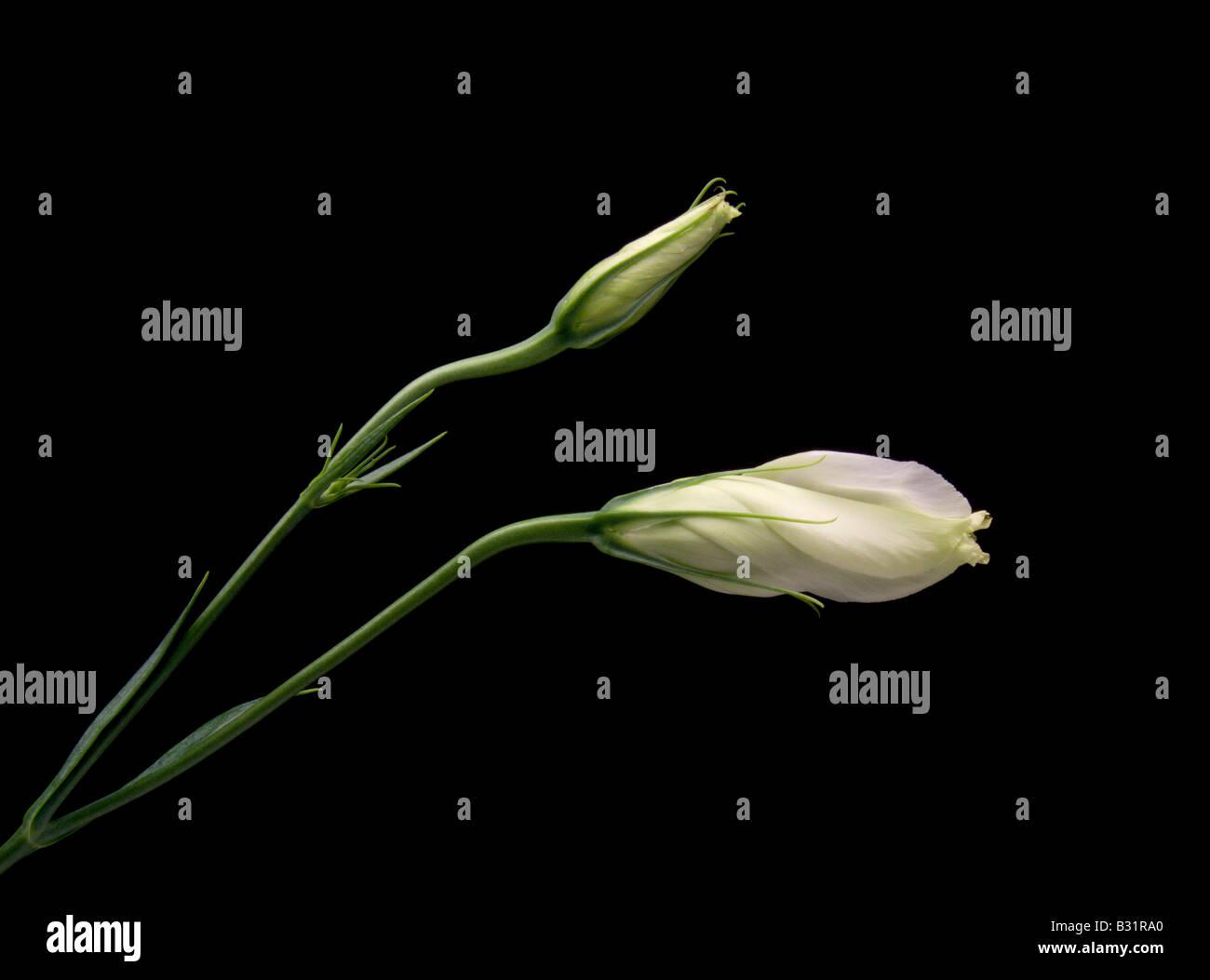 White Lisianthus Buds on Black Background - Stock Image