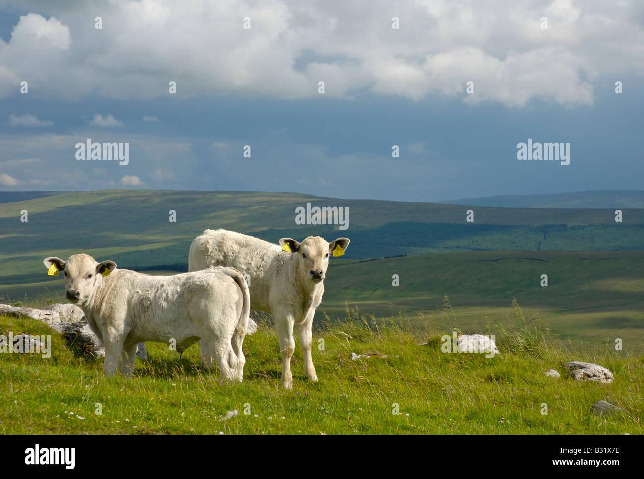 Two bullocks on Cam Fell, Yorkshire Dales National Park, England UK - Stock Image