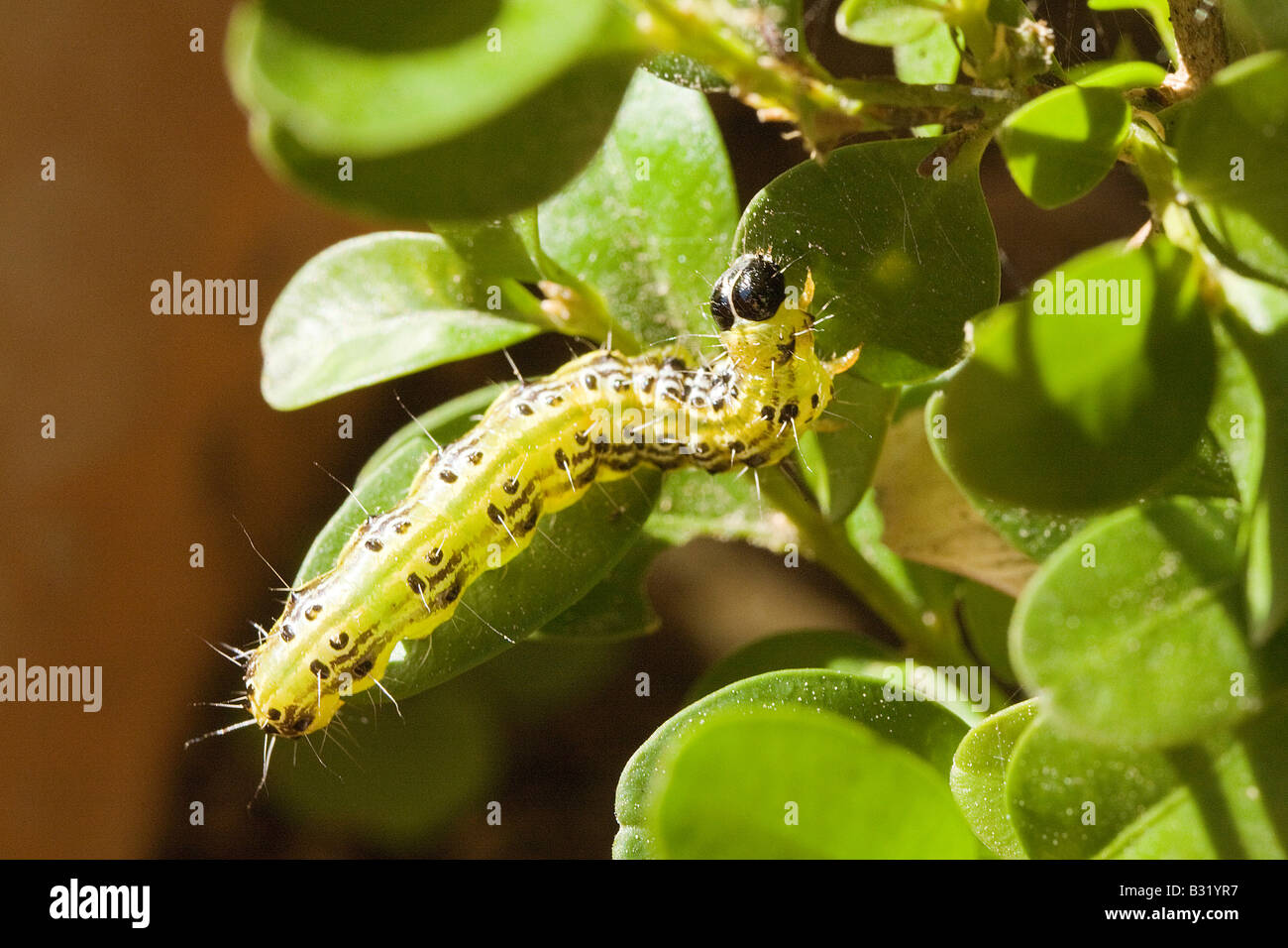 Box Tree Pyralid Moth (Glyphodes perspectalis), caterpillar eating Boxwood leaves (Buxus sempervirens) - Stock Image
