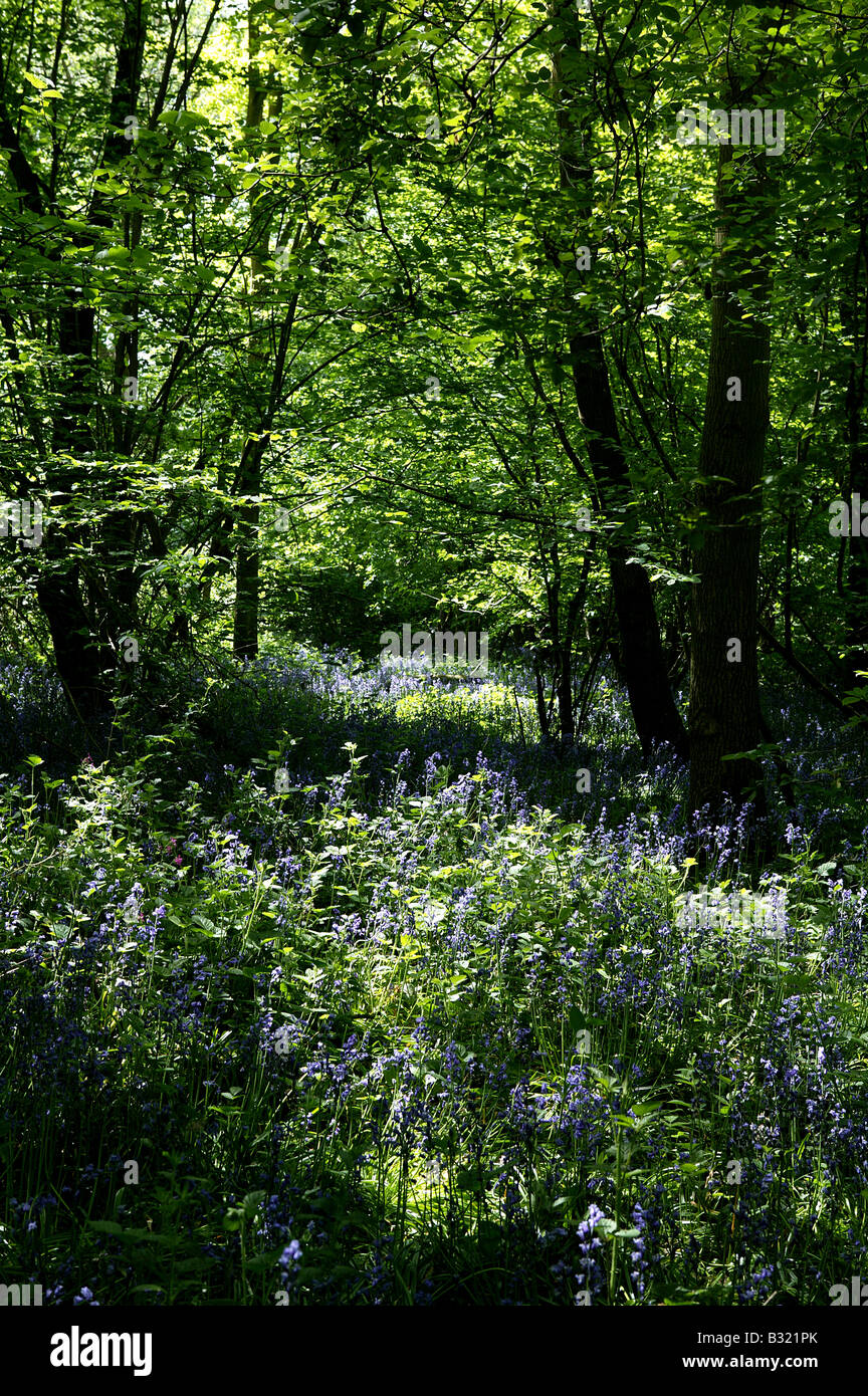 Woodland in May early summer with abundance of bluebelles or Bluebells growing on the woodland floor in an upright - Stock Image